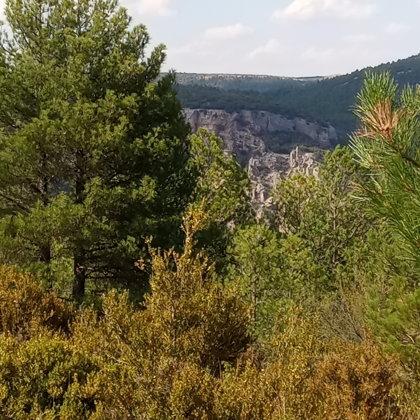 Pinos y Boj (Buxus Sempervirens)